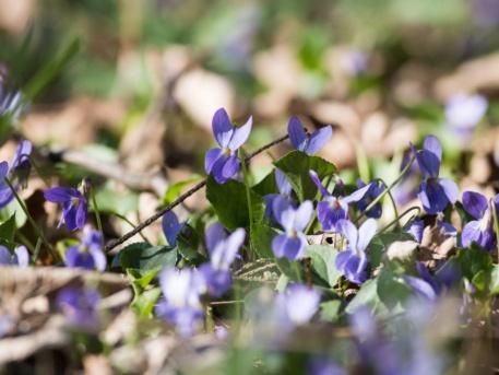 Az ibolyát is könnyen felfedezhetjük élénk lila színe nyomán.