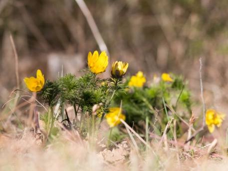 A védett tavaszi hérics is színpompássá teszi a tavaszi sétát.