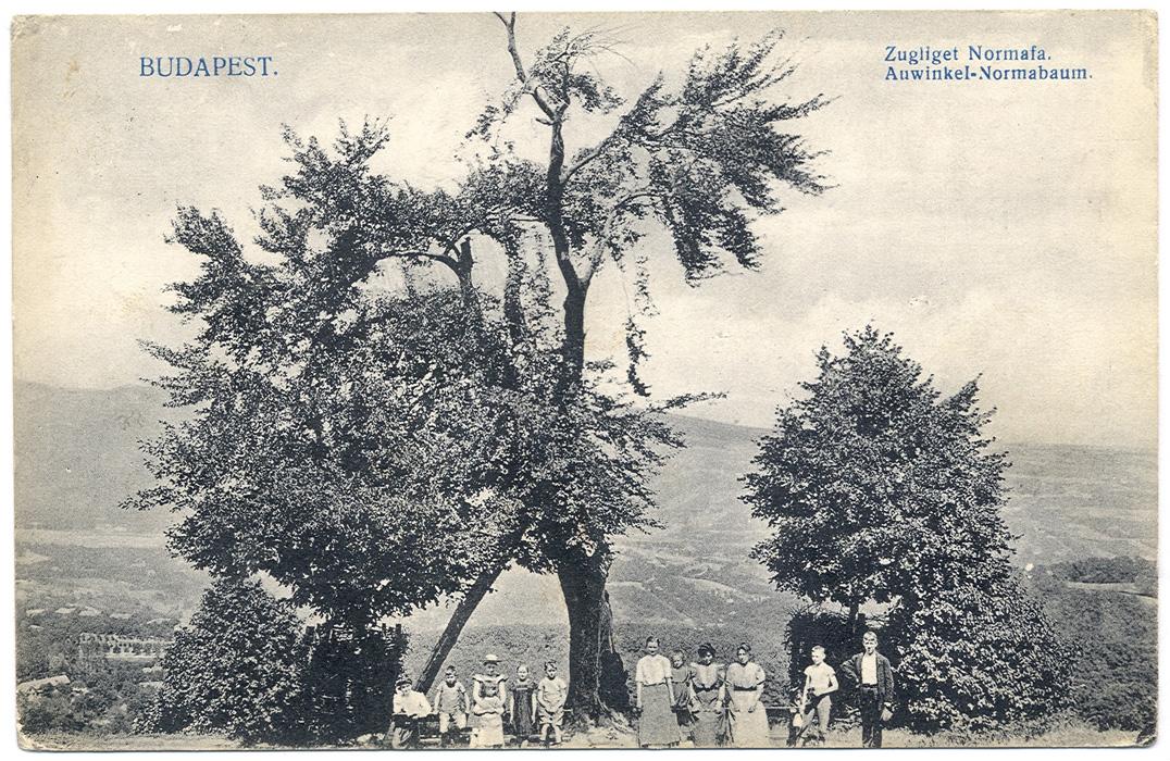 A Normafa egy régi képeslapon (forrás: normafa.info)