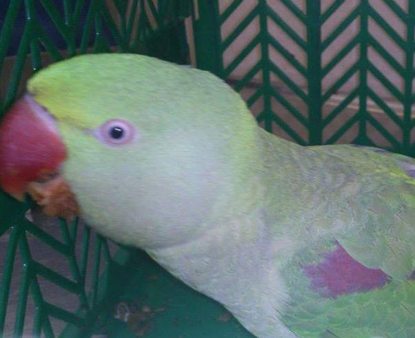 Oszkár, az elveszett és megkerült Nagy Sándor papagáj